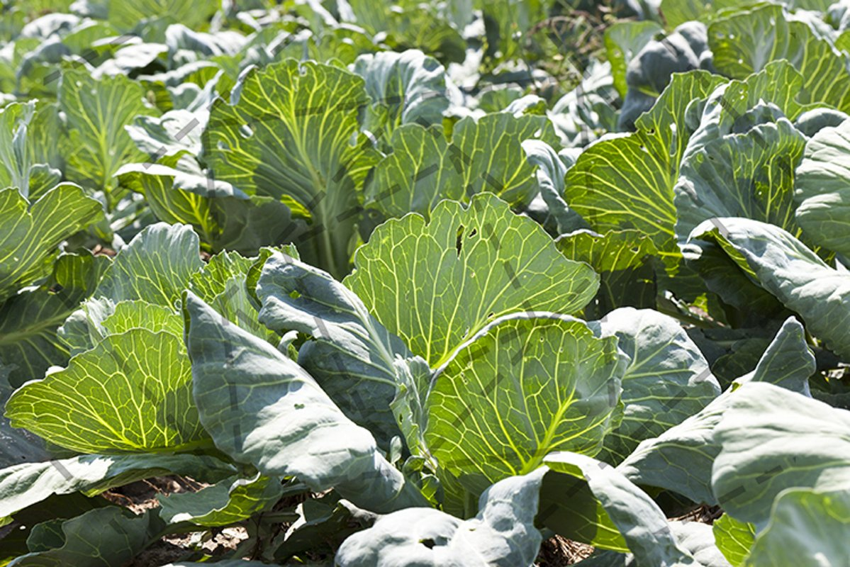 green cabbage example image 1