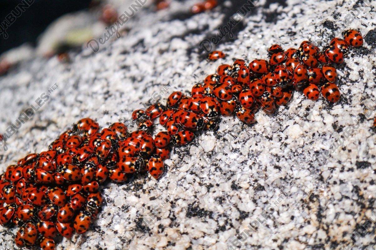 Stock Photo - Many Ladybug on Rock example image 1