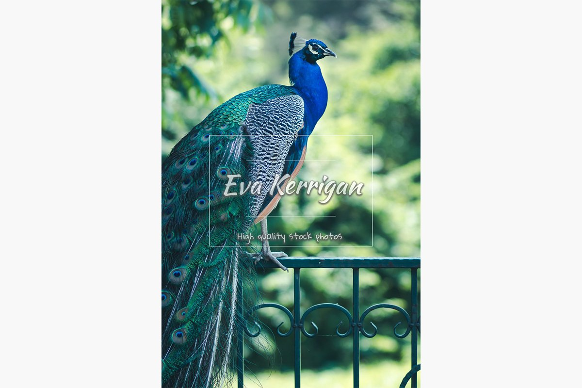A beautiful peacock with a green tail and a blue breast. example image 1