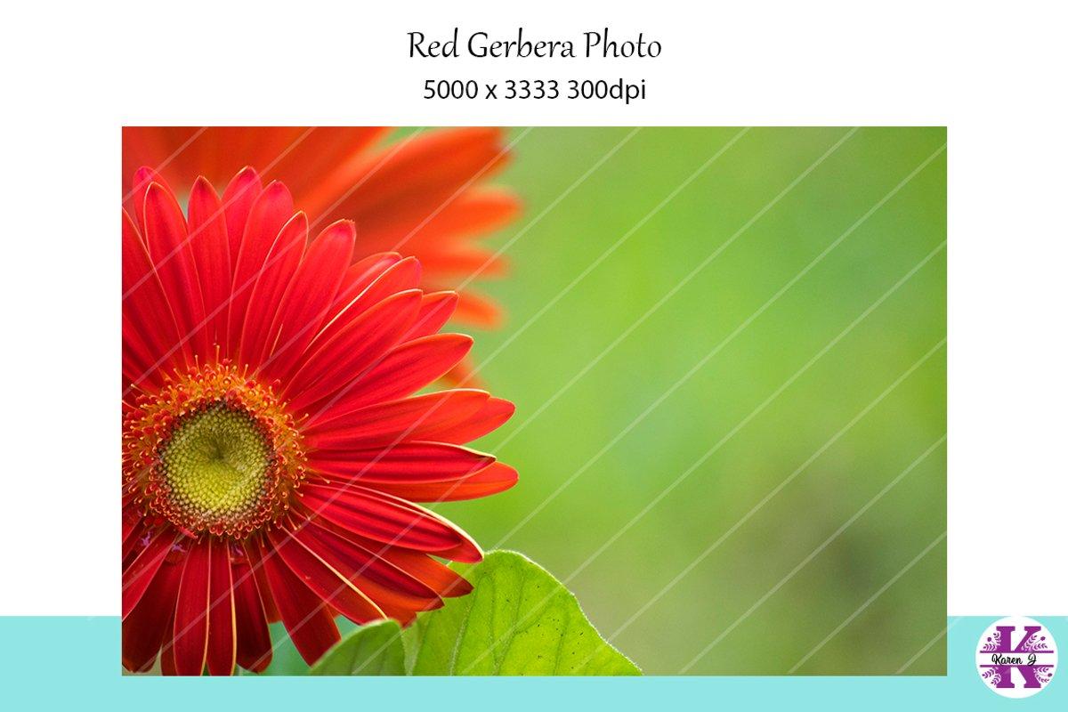 Red Gerbera Stock Photo example image 1