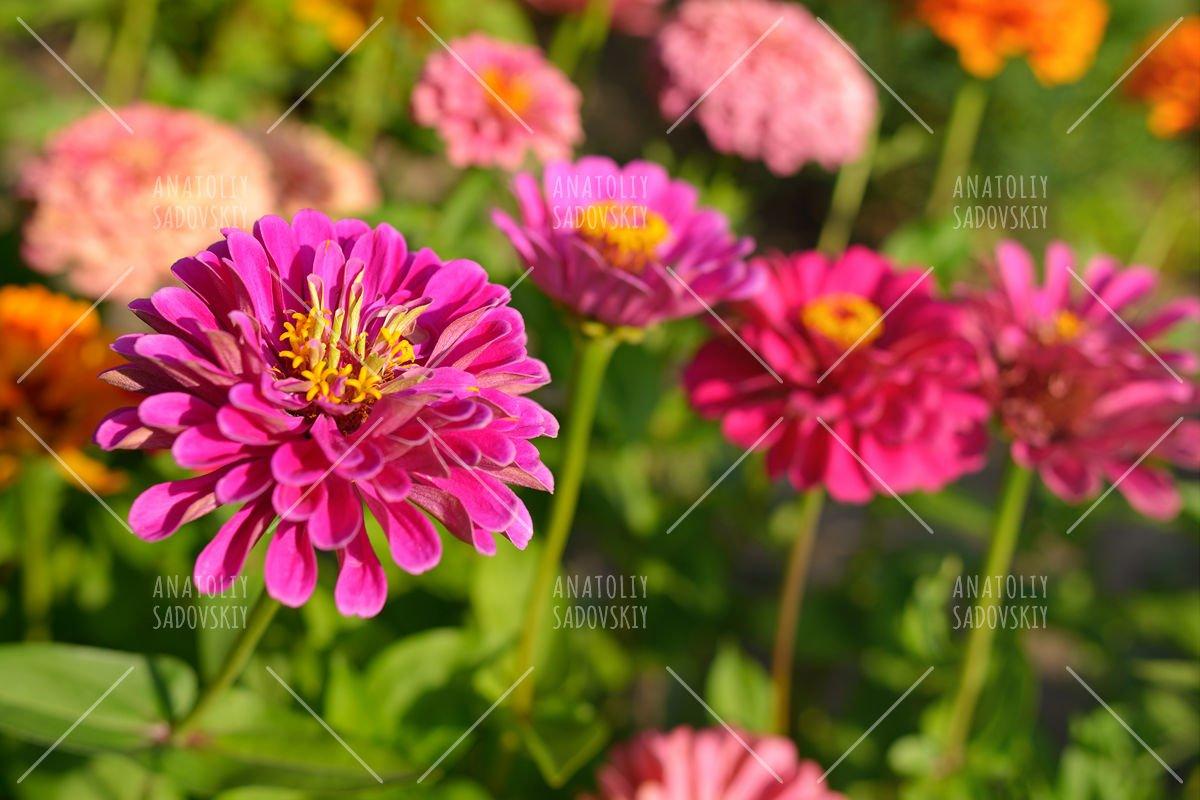Zinnia flowers in garden example image 1
