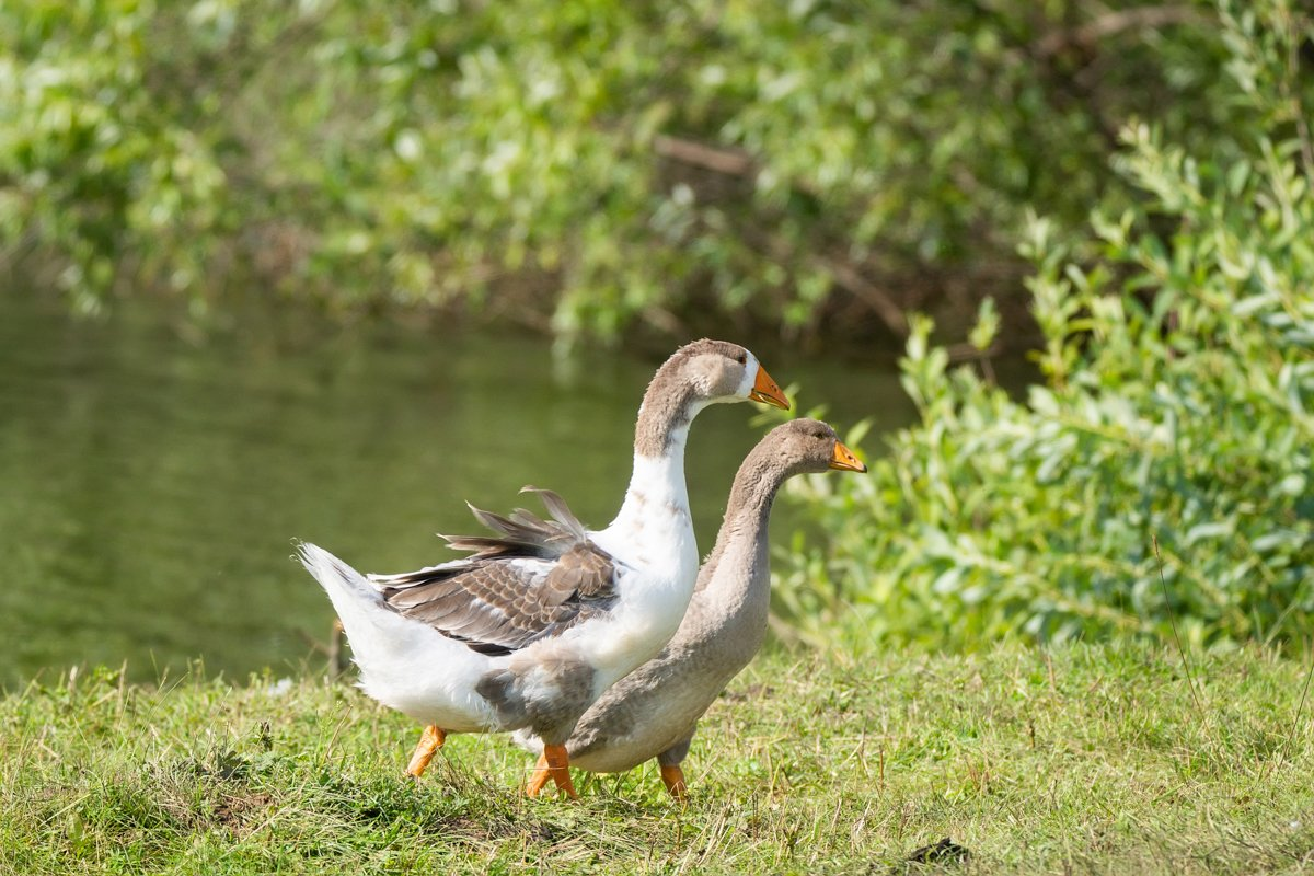 goose on grass example image 1