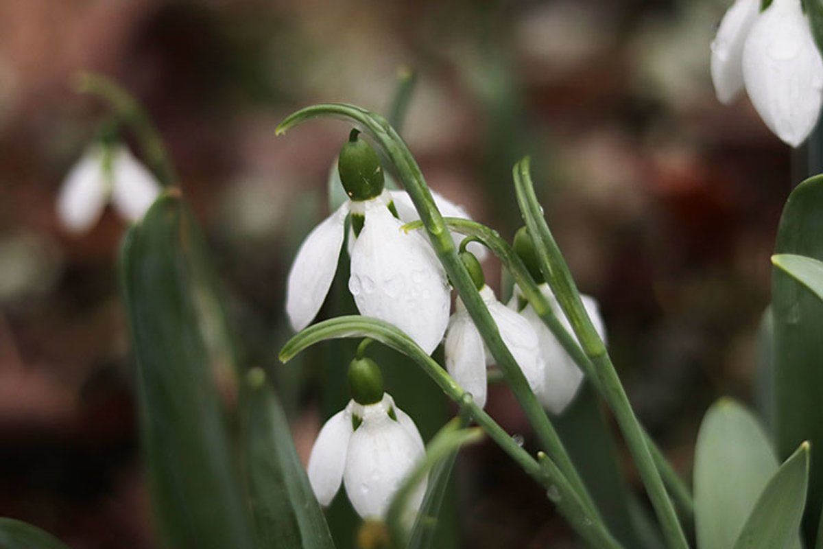 spring white snowdrop flowers close-up example image 1