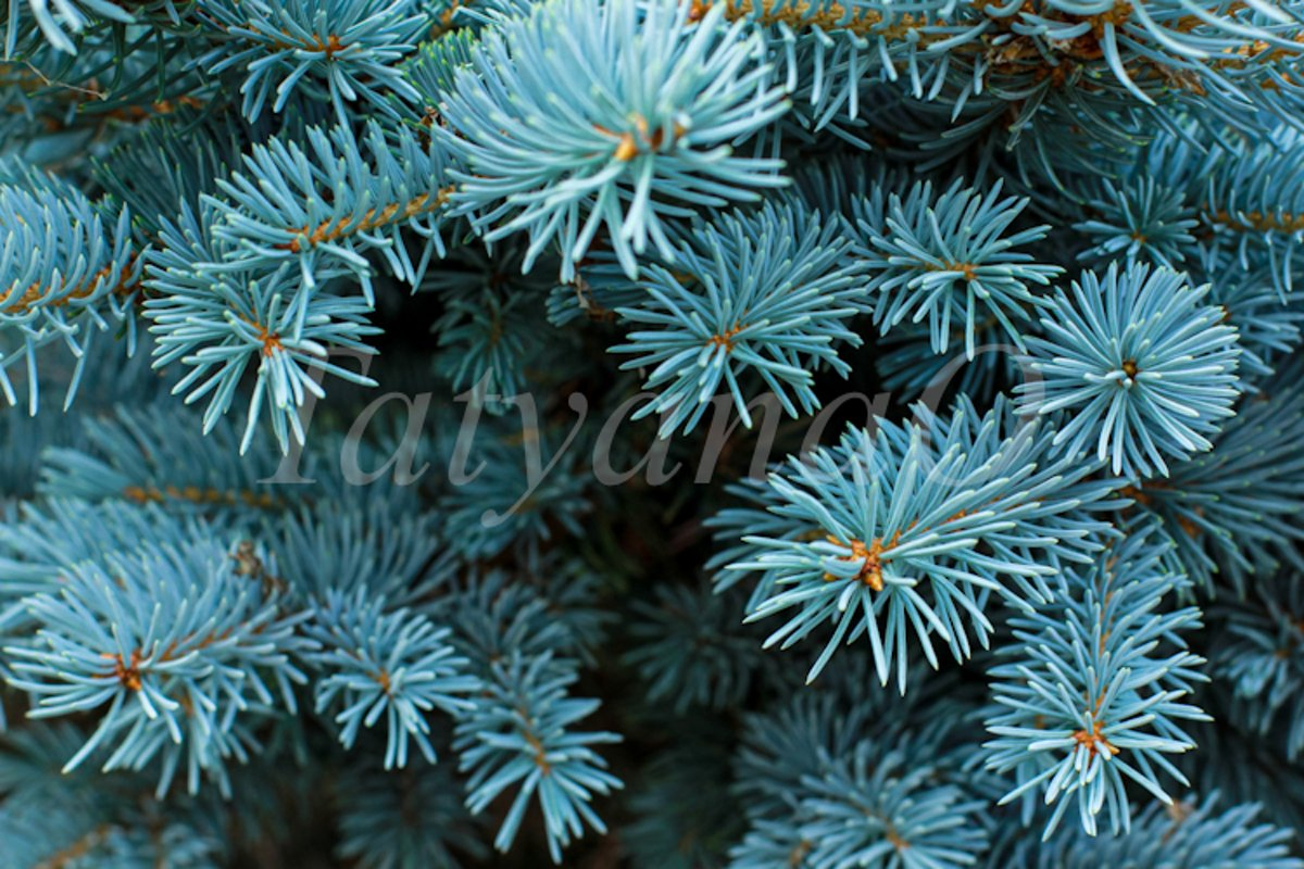Blue spruce background. Coniferous tree. example image 1