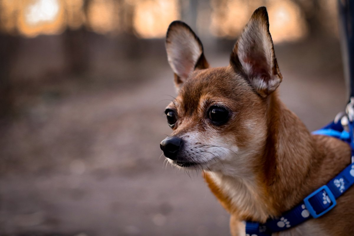 portrait of red chihuahua with a harness example image 1