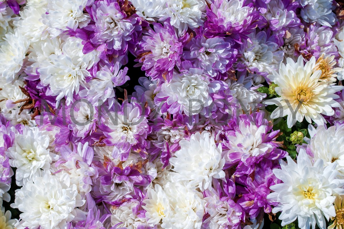Texture of purple flowers close up. Top view example image 1
