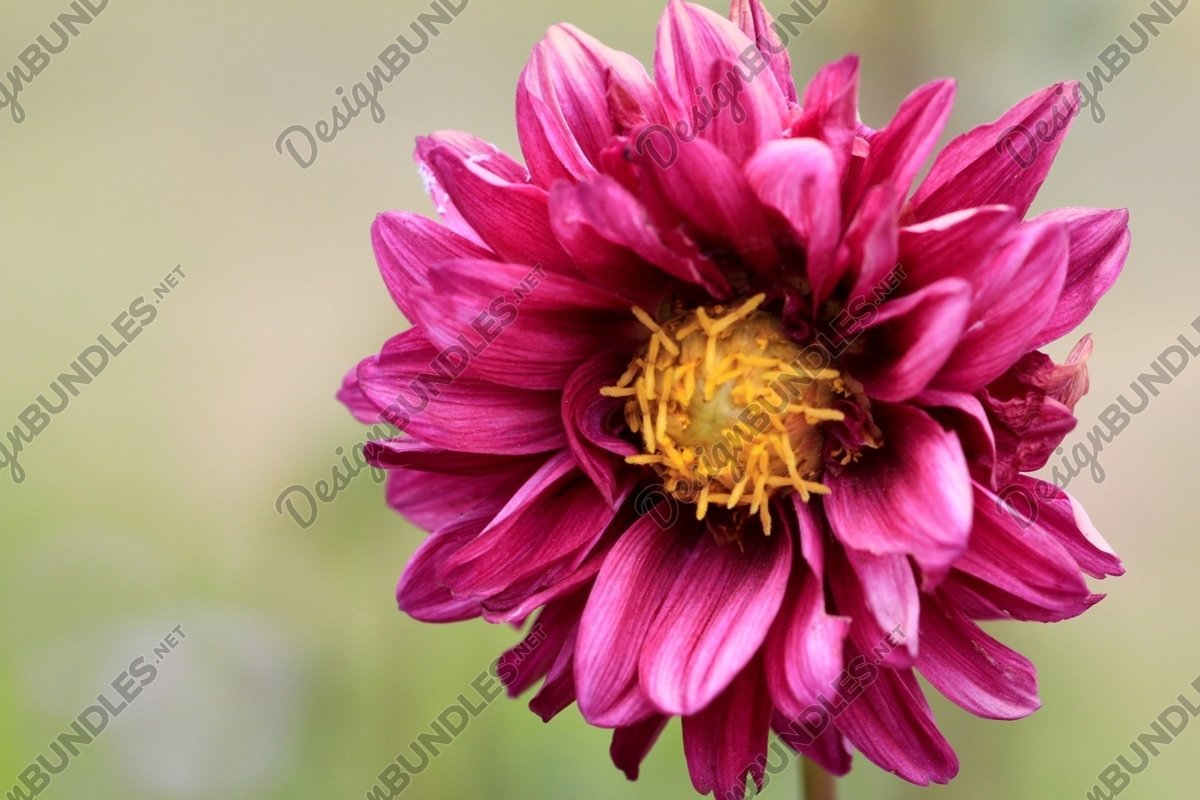 Close Up Of Pink Dahlia. example image 1