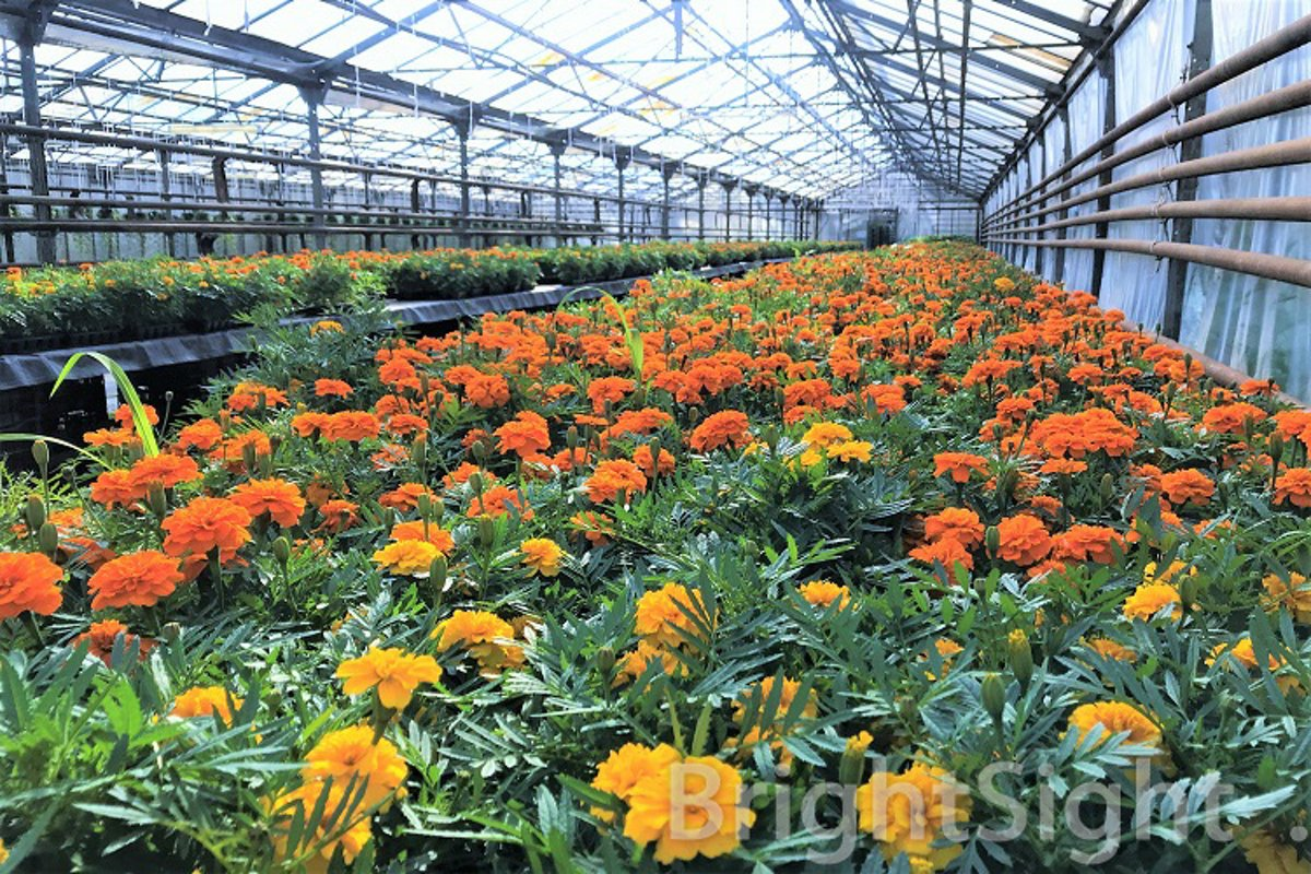Marigolds in a greenhouse example image 1