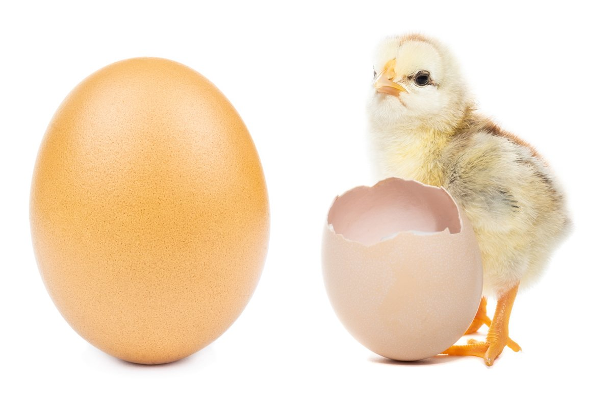 chicken egg on white background example image 1