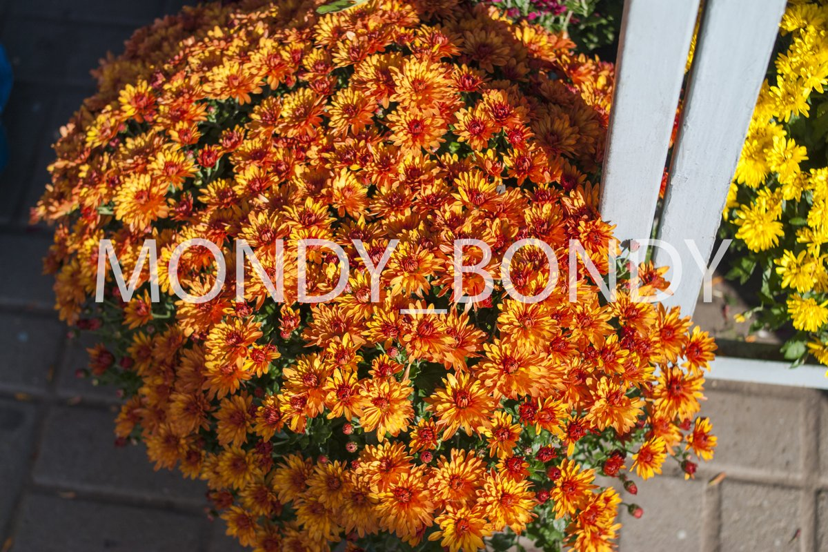 Autumn flowers in a pot close-up example image 1
