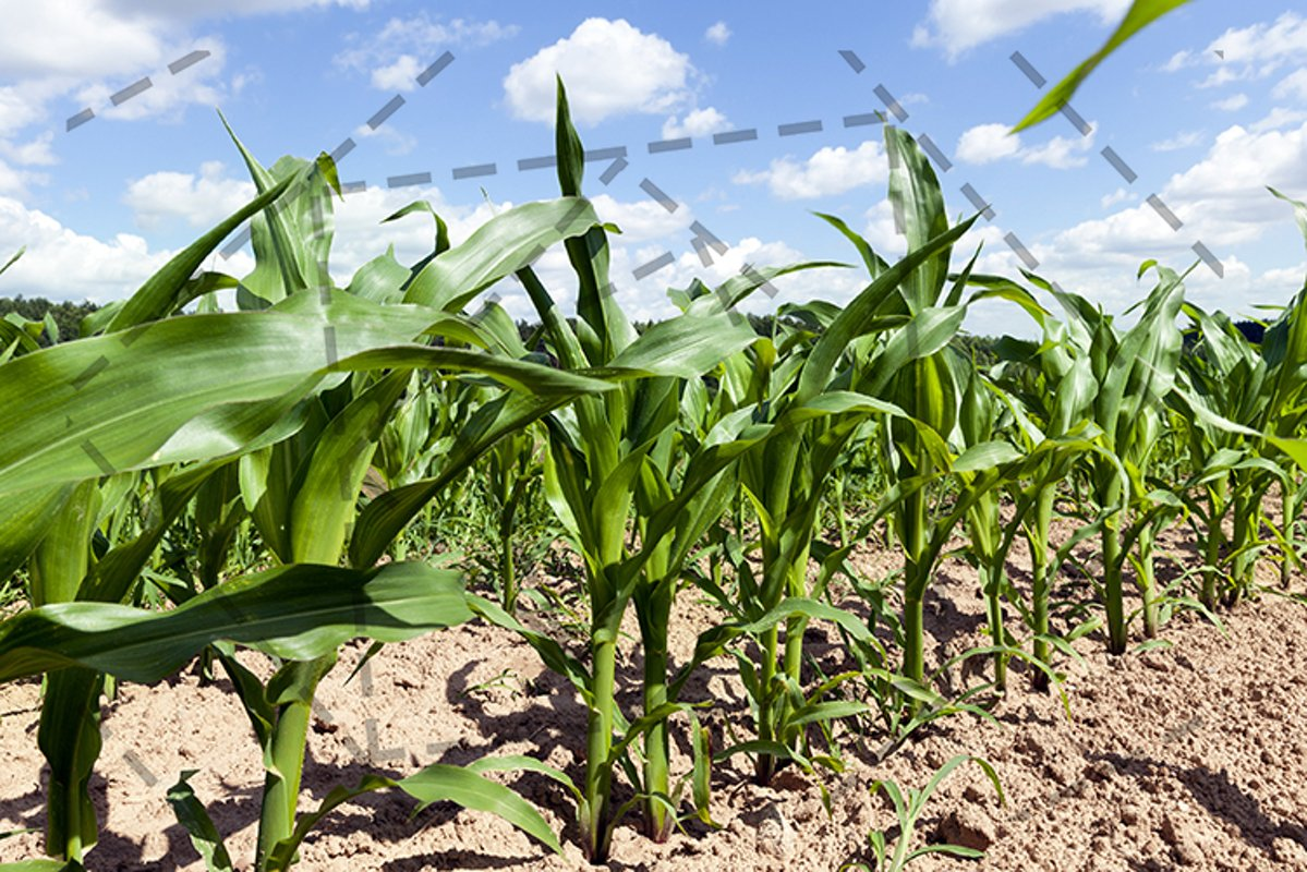 corn agricultural field example image 1