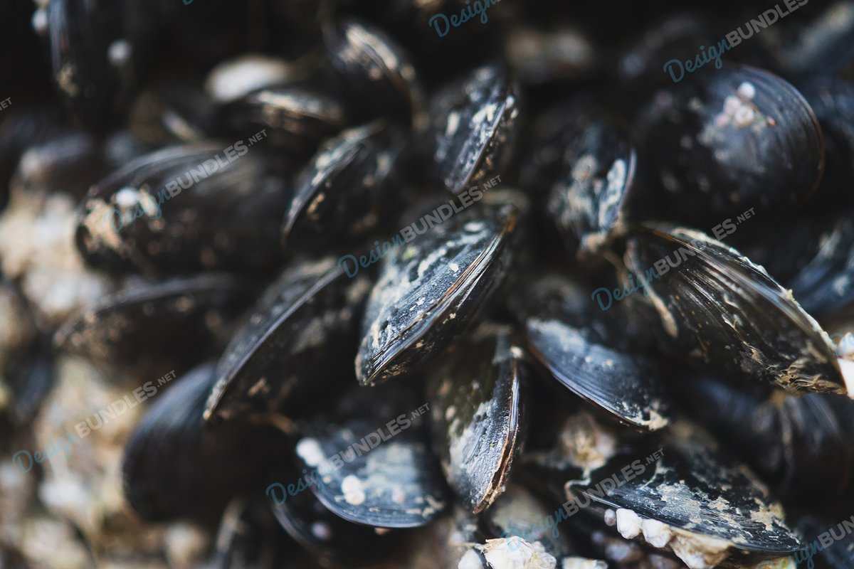 Stock Photo - Baltic Clam example image 1