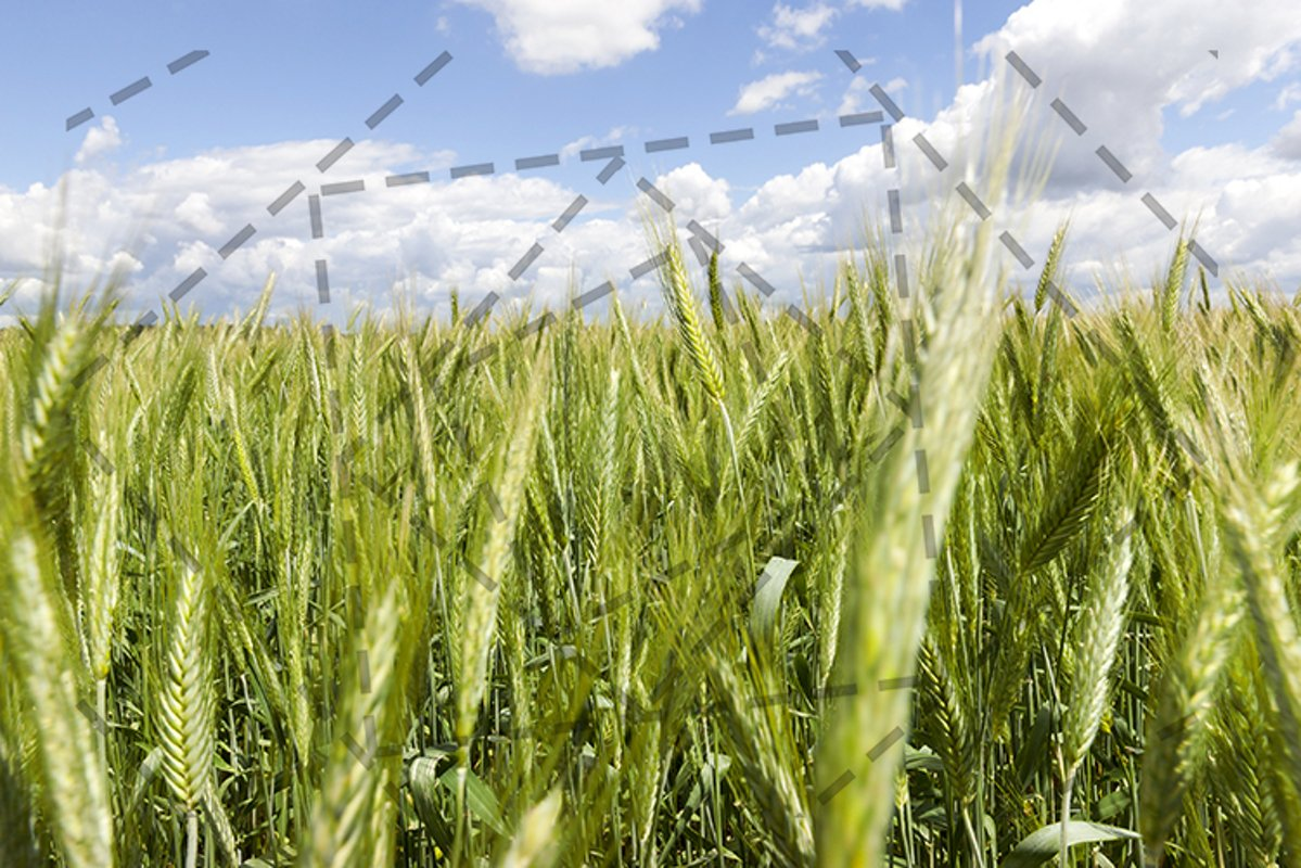 Field of wheat example image 1