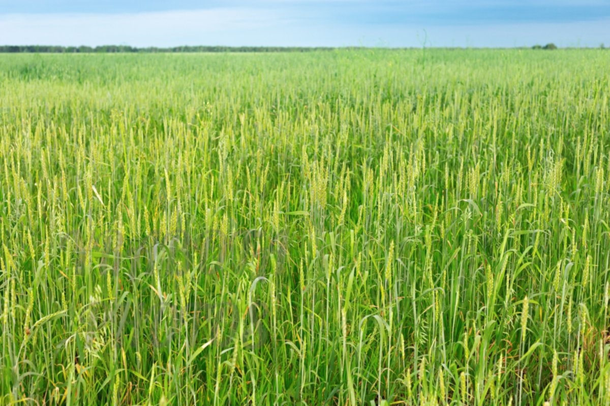 Green wheat on field example image 1