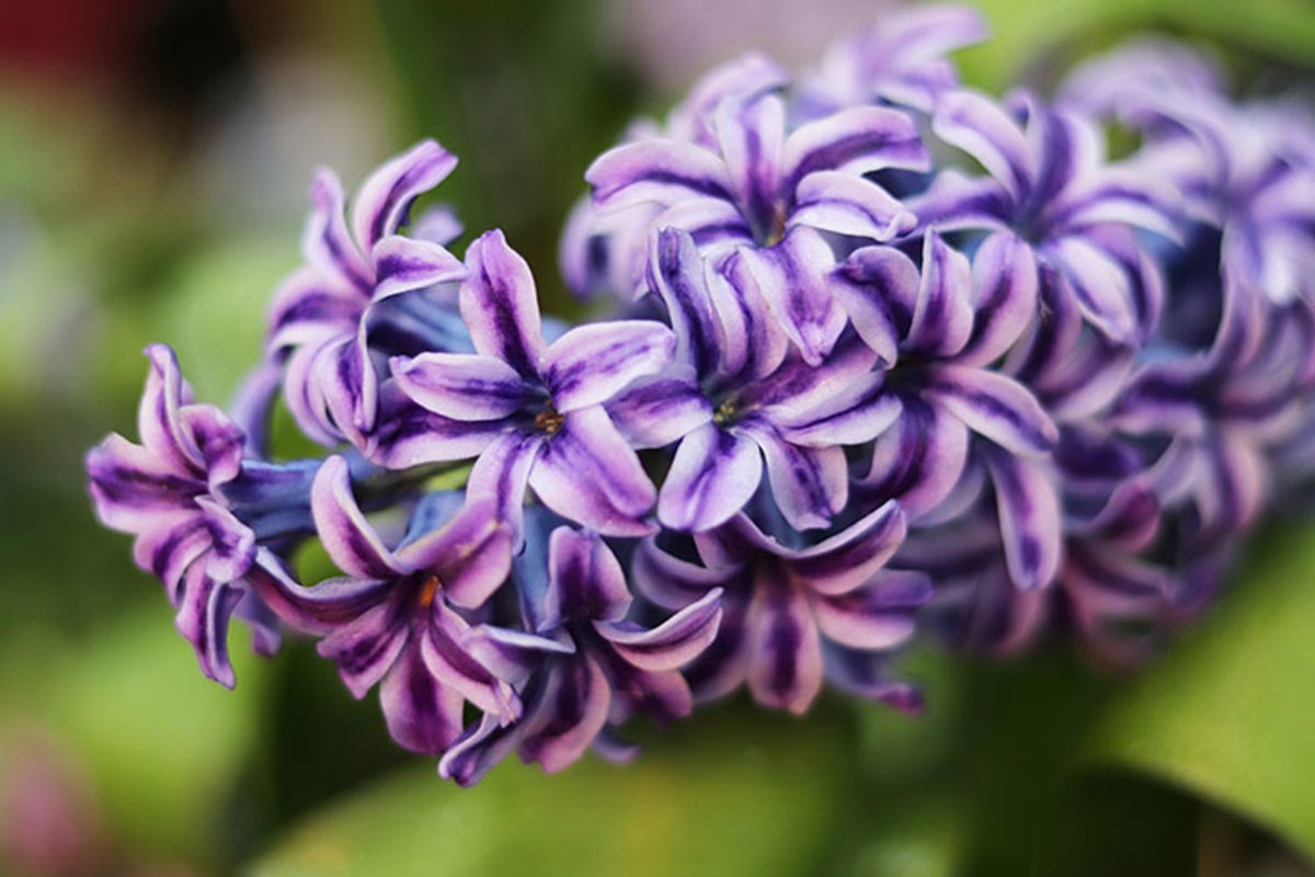 Hyacinth flower in the store example image 1