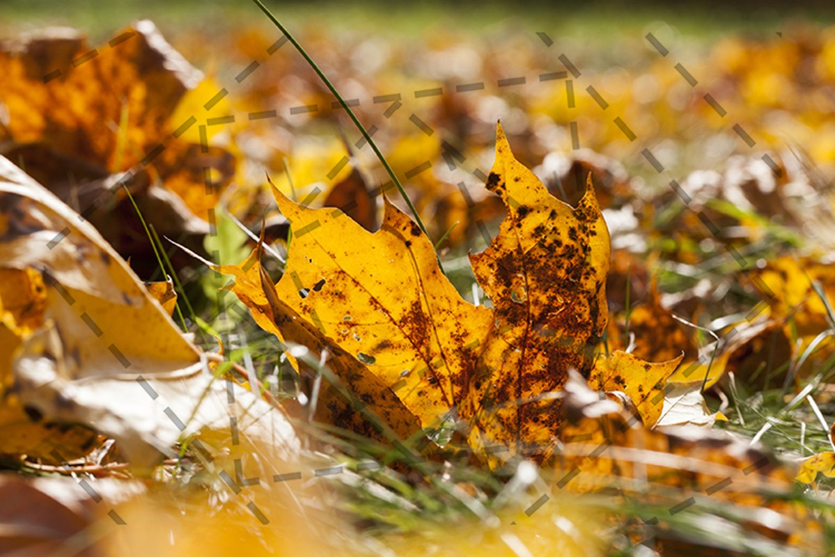 orange foliage maple example image 1