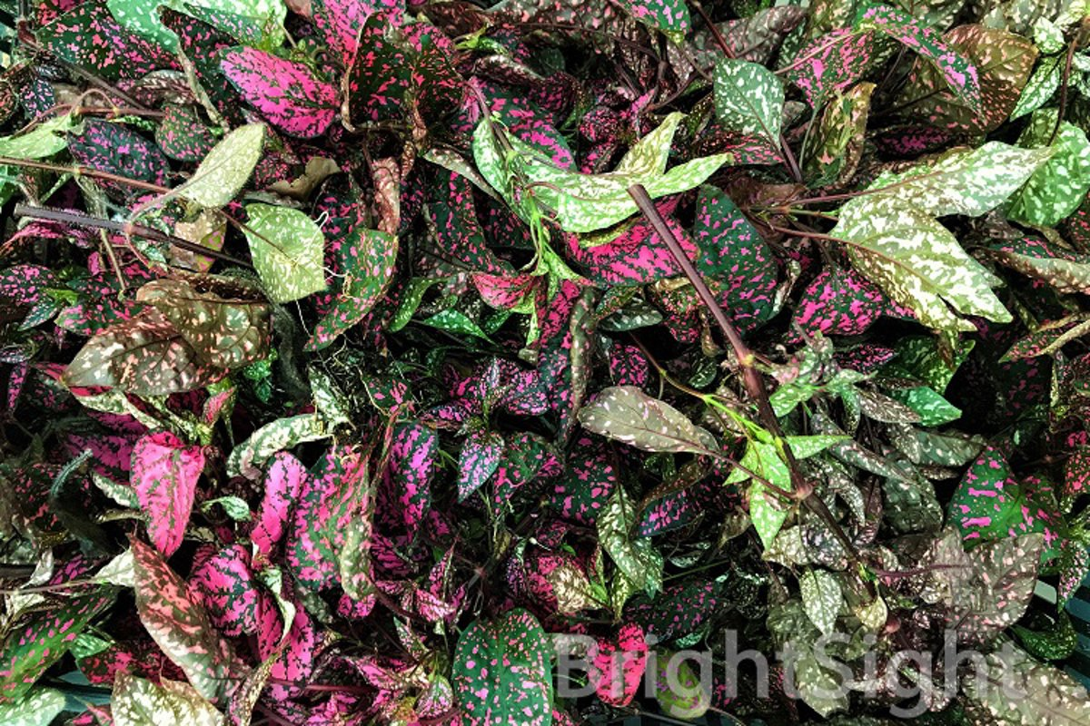 Cut branches of Hypoestes example image 1
