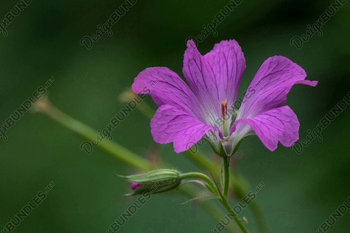 Stock Photo - Close-Up Of Pink Flowering Plant example image 1