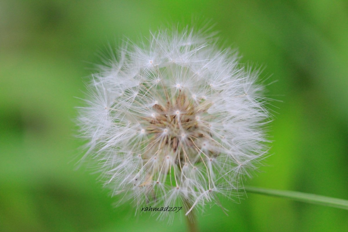 Dandelion on background of green grass example image 1