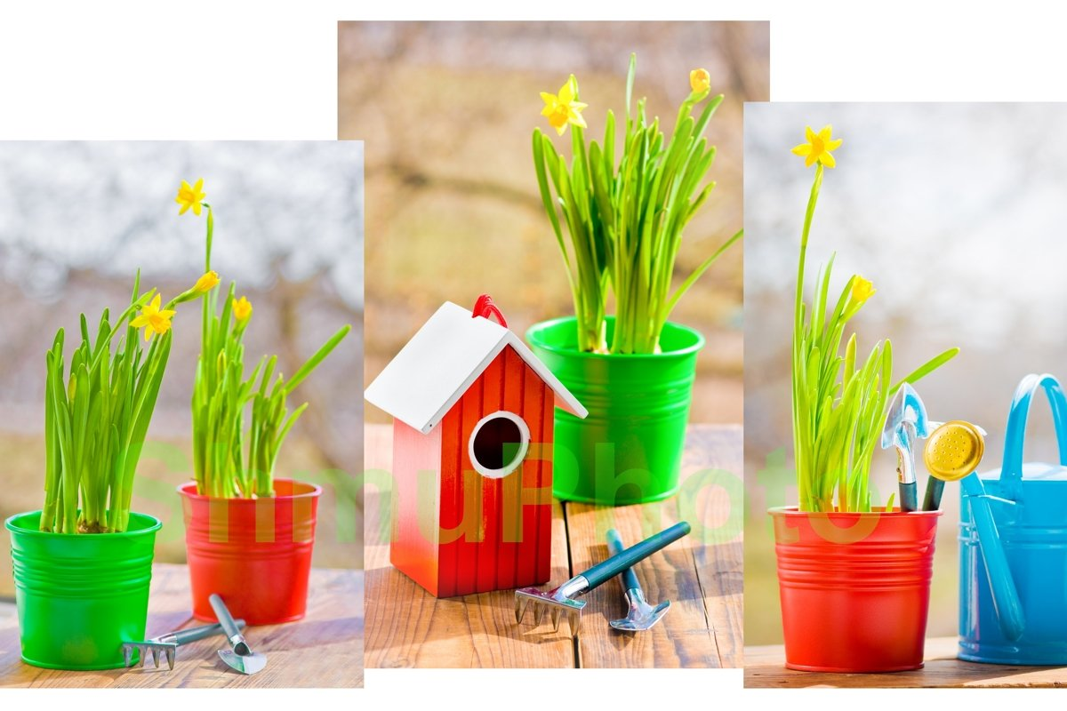 Narcissus in red pot with blue wateriing-can and shovel example image 1