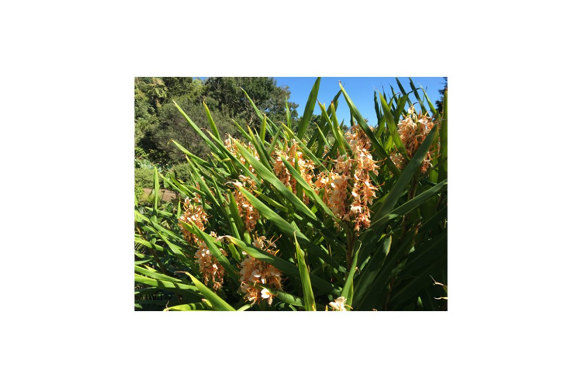 Photo of the flower of Grevillea Deua Gold plant example image 1