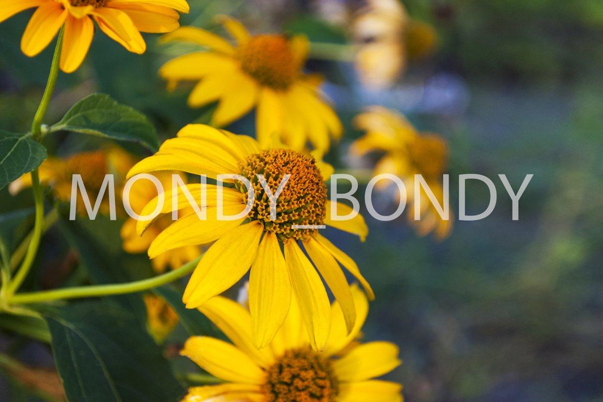 Yellow Rudbeckia hirta close up example image 1