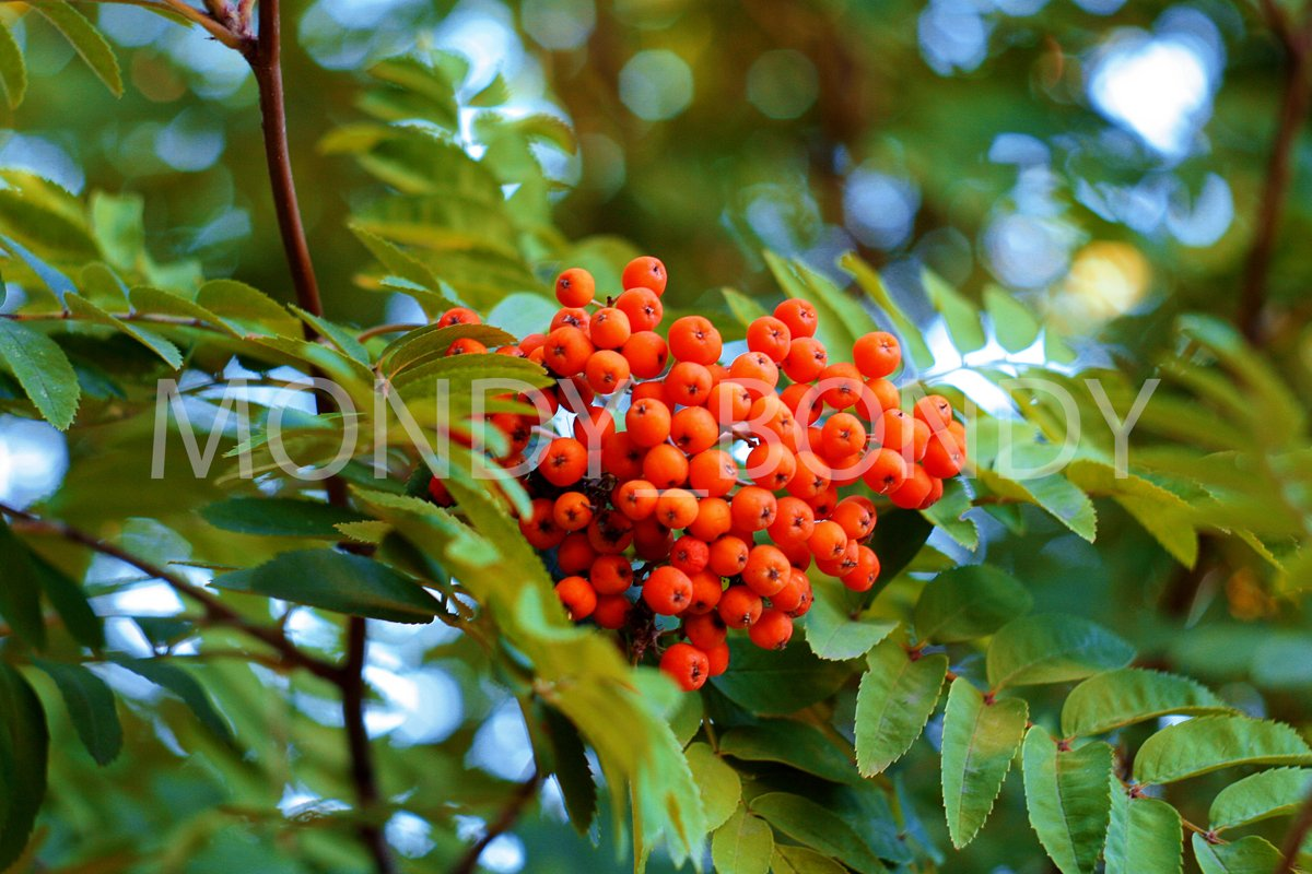 Red rowan in the garden example image 1