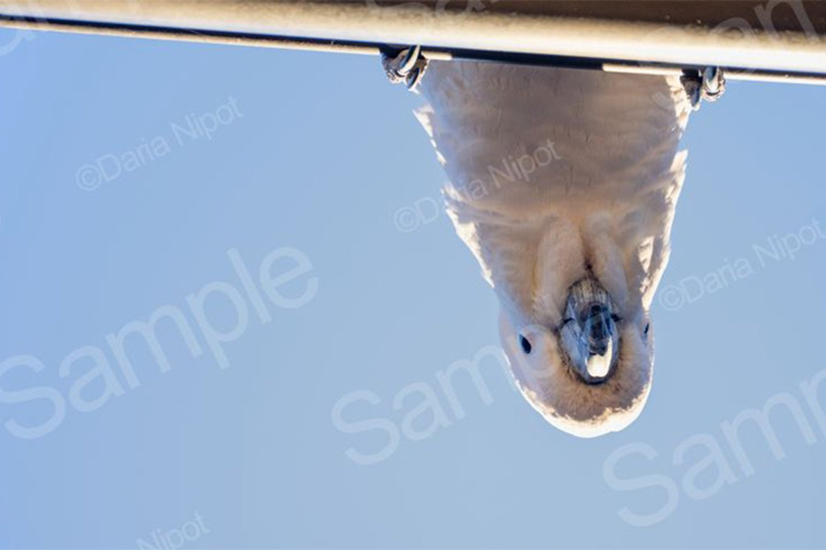 Cockatoo looking down from a roof example image 1