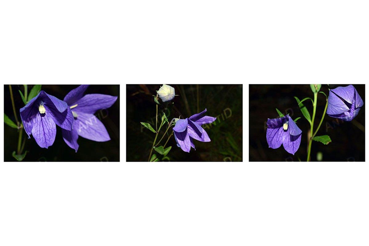 Set of 3 images. Beautiful blue bells. Summer garden. example image 1