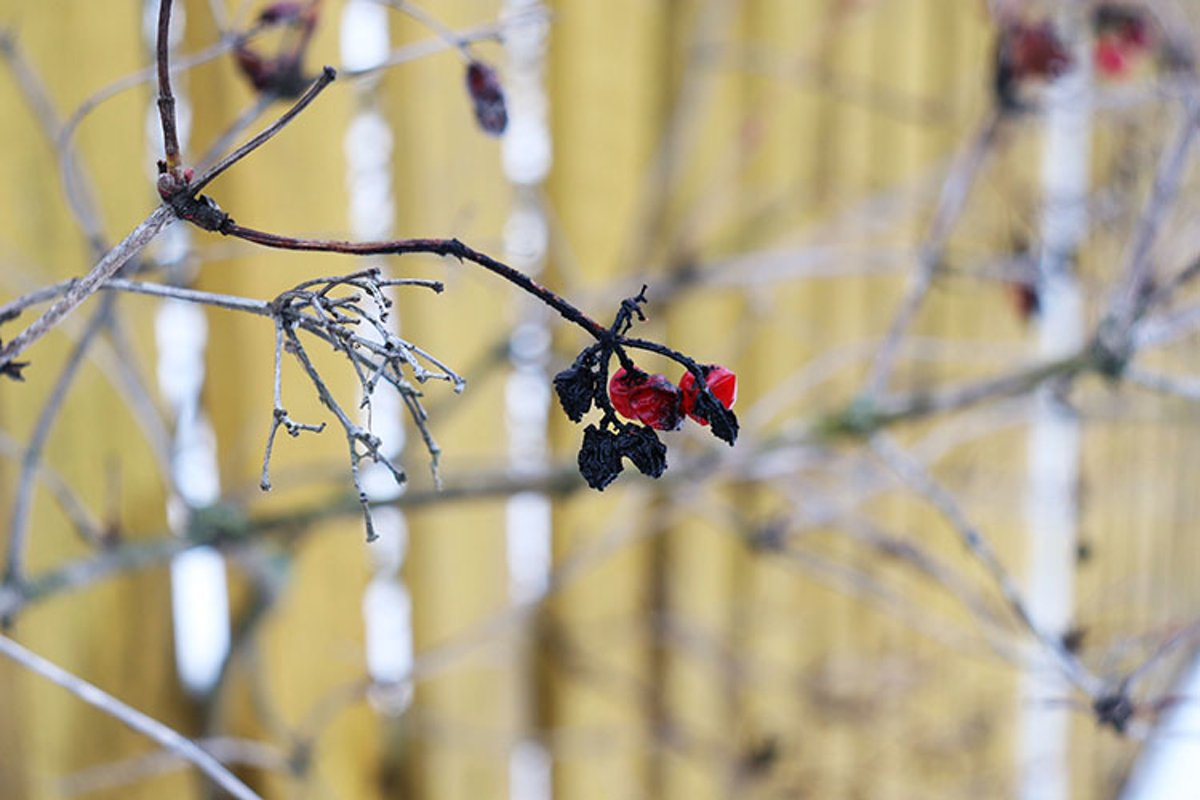 black and red berries in the winter against a yellow fence example image 1
