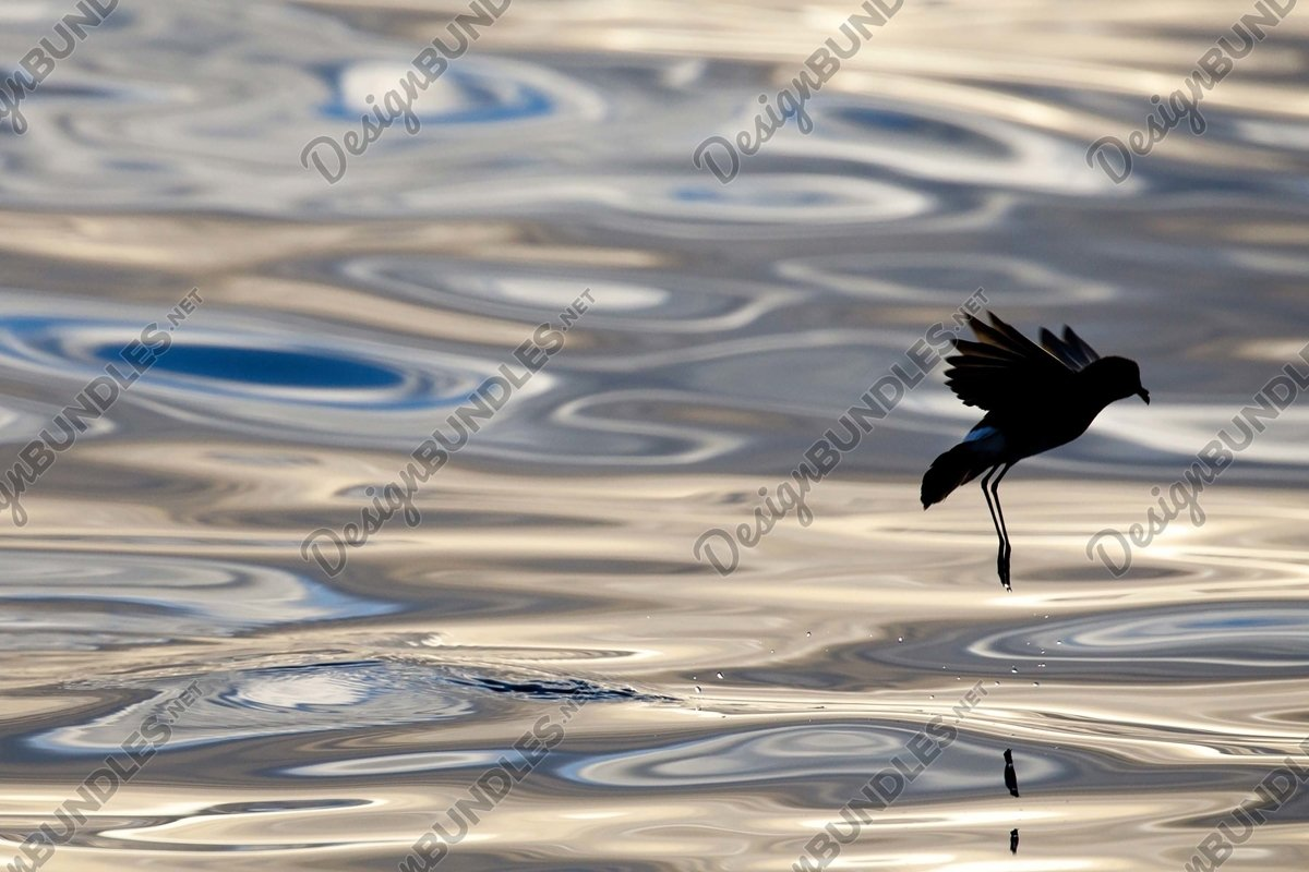 Stock Photo - Silhouette of a bird emerging from the water example image 1