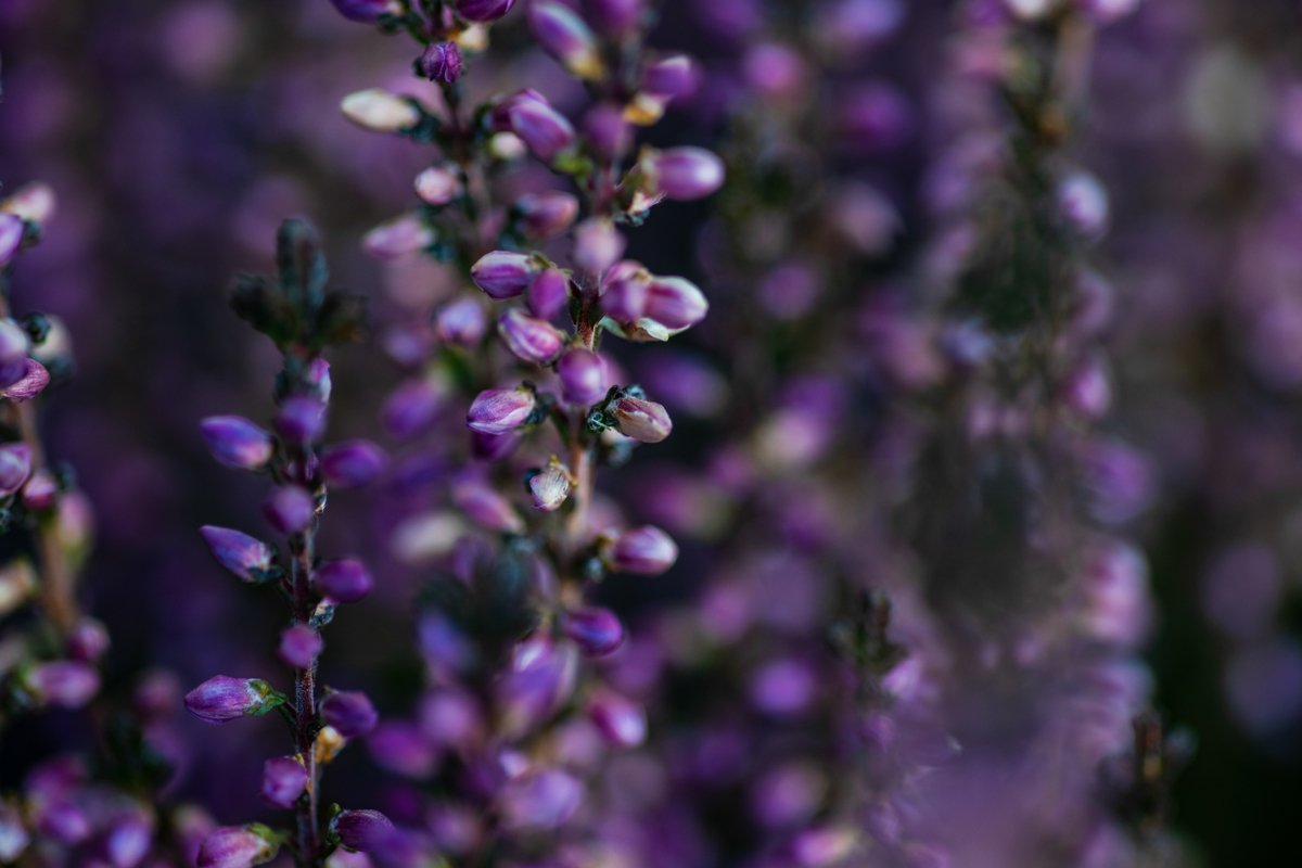 Calluna flowers blooming in a garden as a natural background example image 1