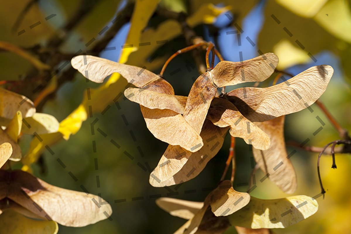 maple seeds example image 1
