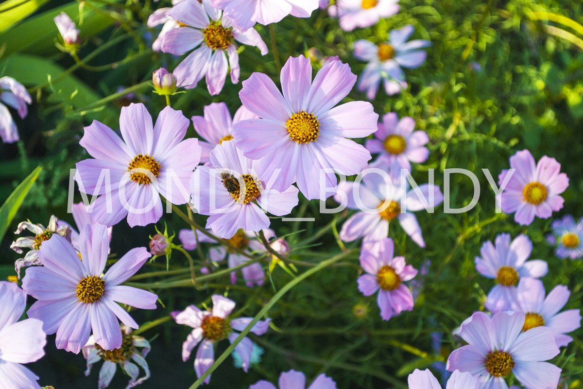 Bright summer lilac flowers close-up with a bee on a petal example image 1
