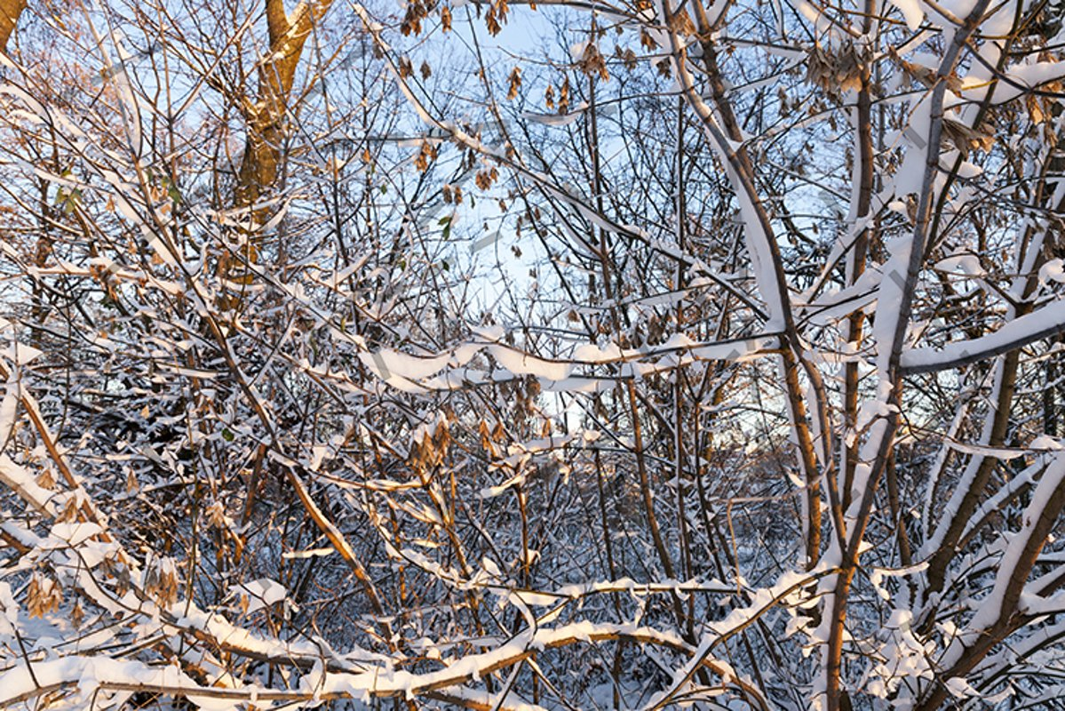 branches of trees in the snow closeup example image 1