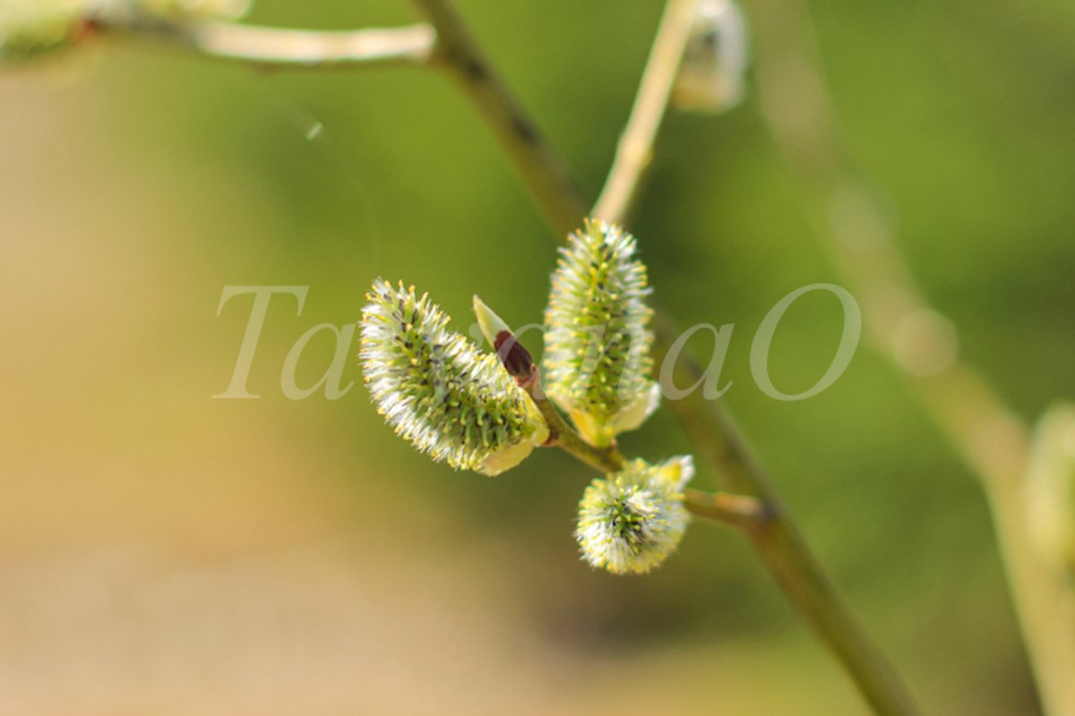 Willow branches with fluffy catkins, buds, flowers. example image 1