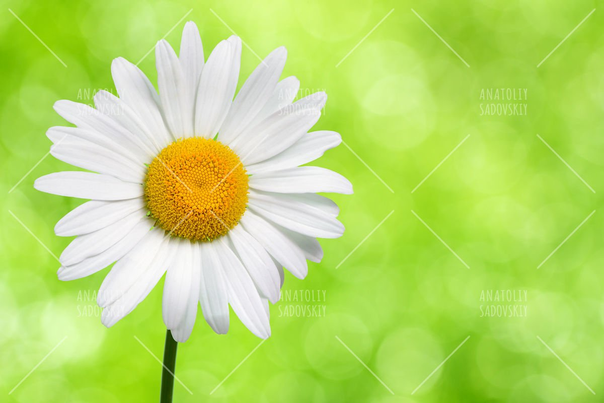 Daisy flower on green nature background example image 1