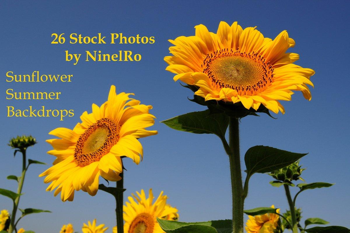 26 Sunflower Summer Photo Backgrounds example image 1