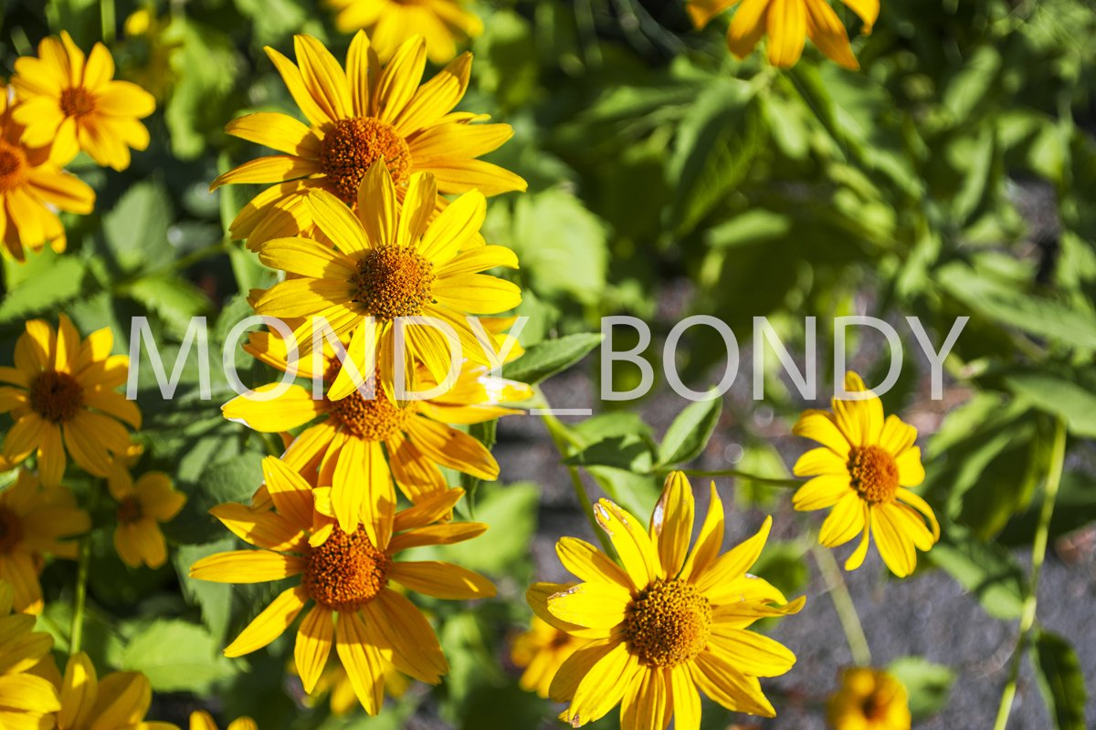 Yellow Rudbeckia hirta close up example image 1