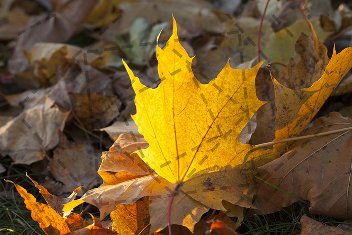 maple leaf example image 1