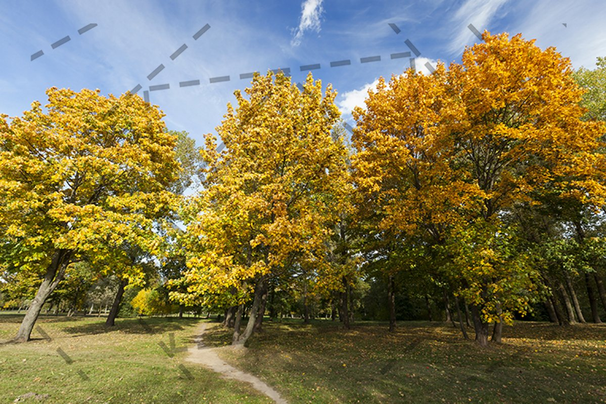 yellowed maple trees in autumn example image 1