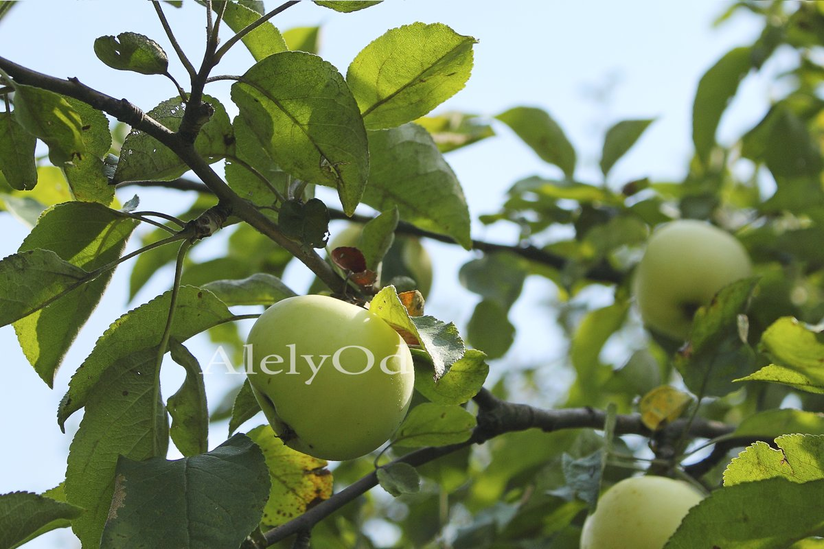 Tree branch with apples example image 1