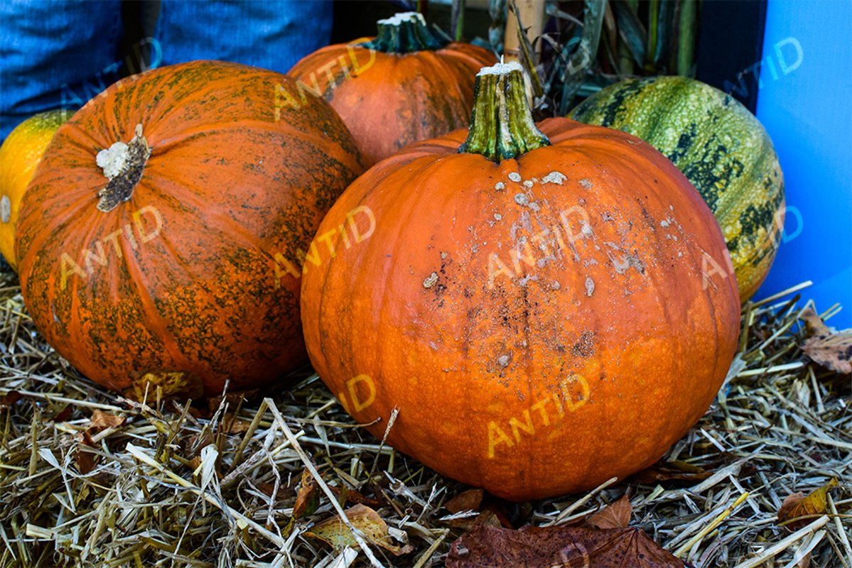 Pumpkins in the straw. Festive composition for Halloween. example image 1