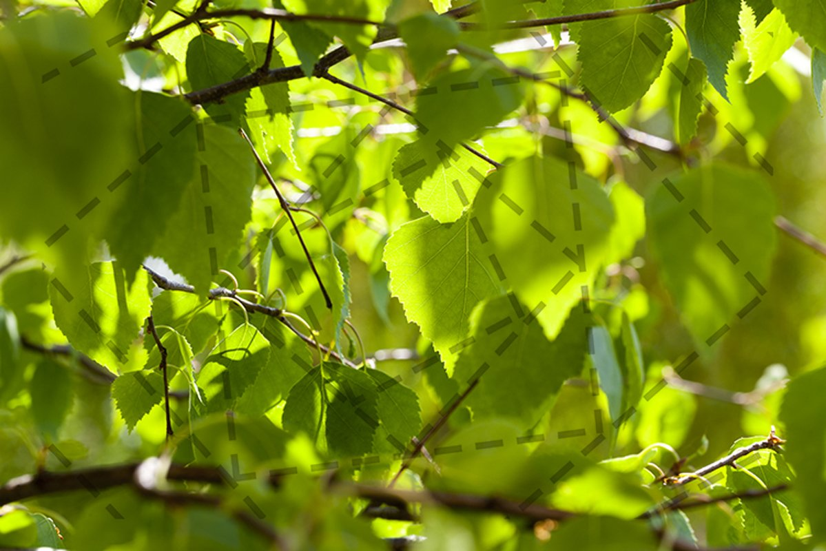 birch leaves example image 1