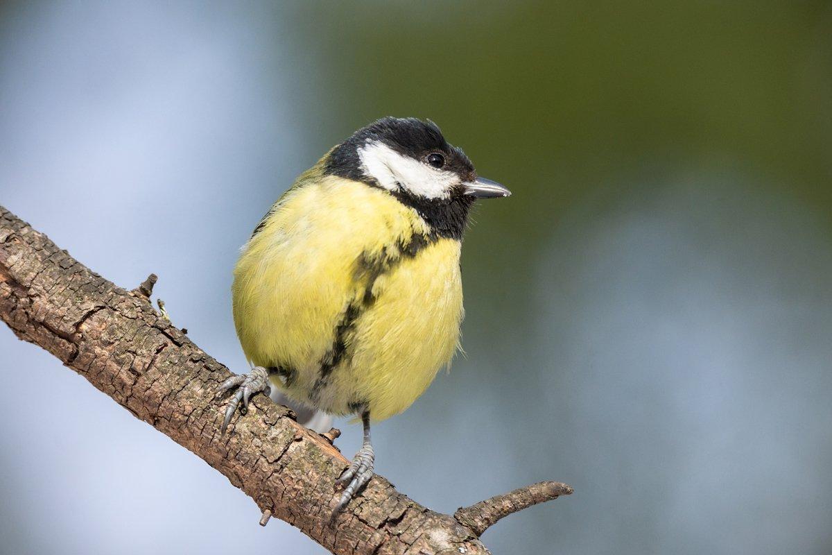 the bird Park in winter Parus major example image 1
