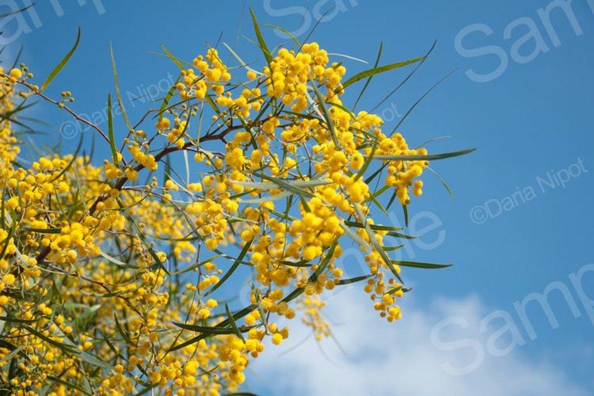 Golden wattle tree flowers. Mimosa. Acacia example image 1