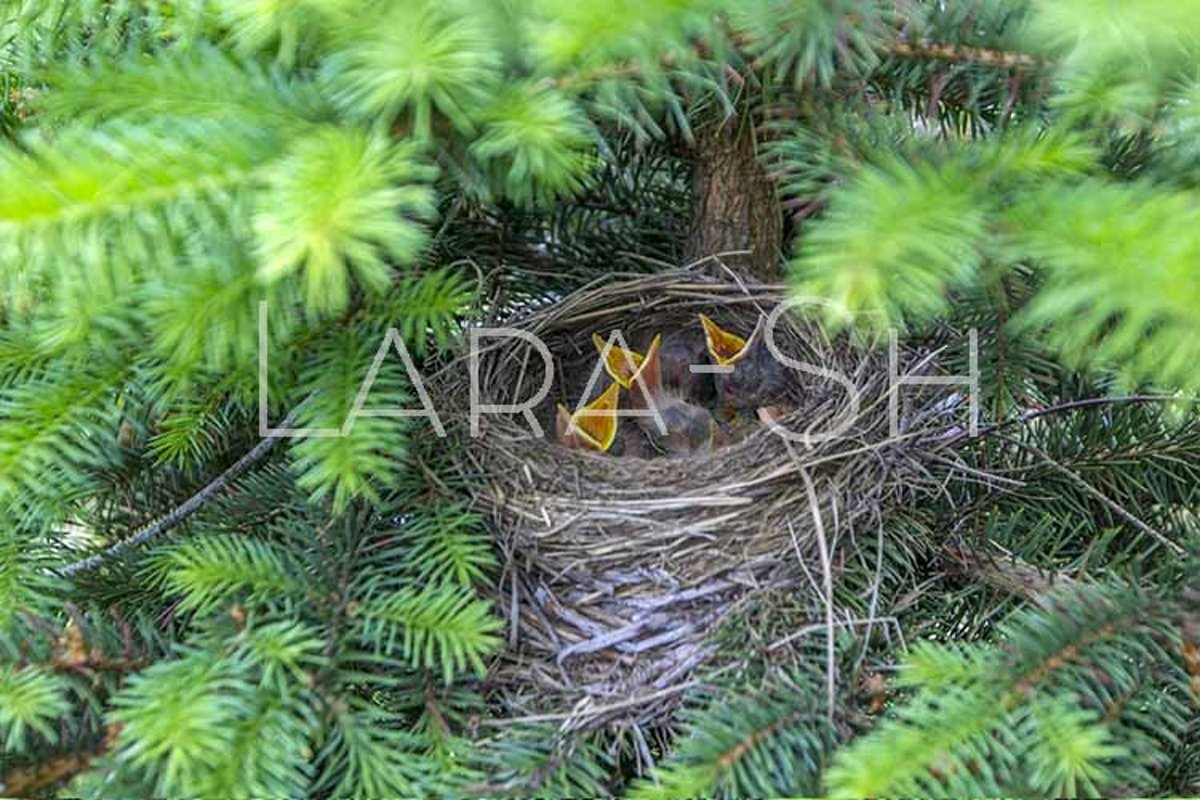 Baby birds turdus pilaris chicks in nest example image 1
