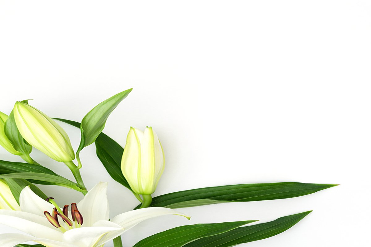 Beautiful blooming lily flower on white background example image 1