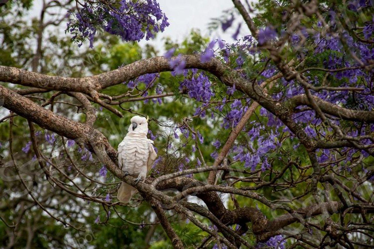 Cockatoo sitting on a jacaranda tree example image 1
