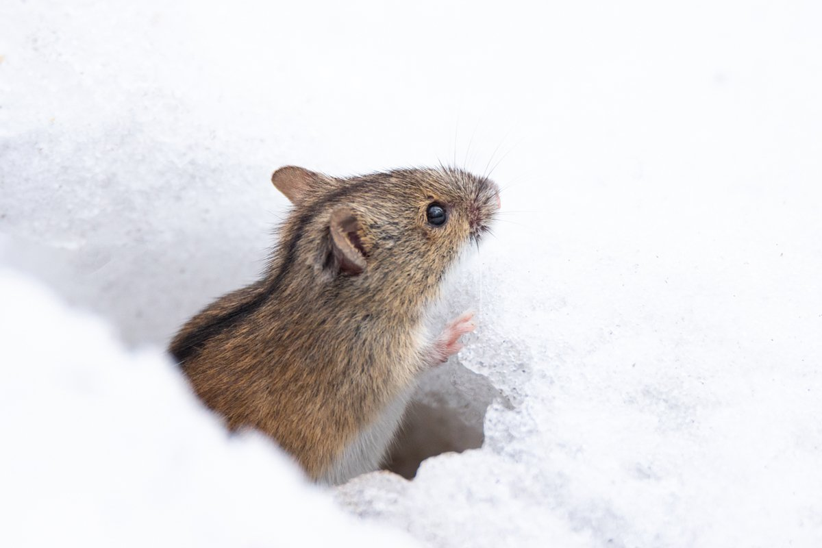 mouse snow winter example image 1